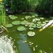 Rostliny do zahradních jezírek