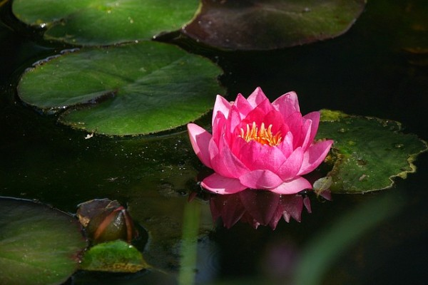 water-lily-848046_640