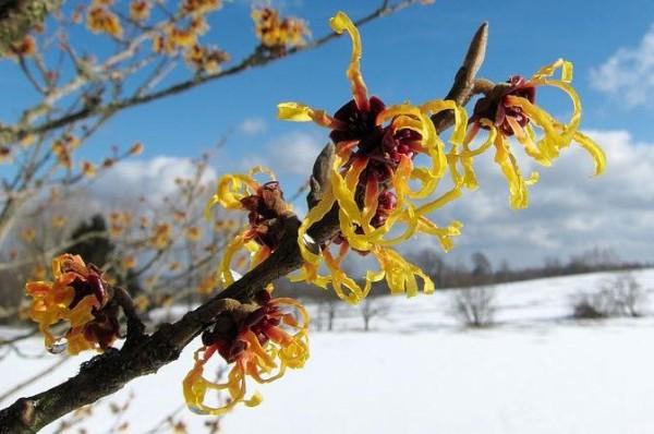Zaubernuss_Witch-hazel_Hamamelis_-_Winterblueher_Winter-flowering