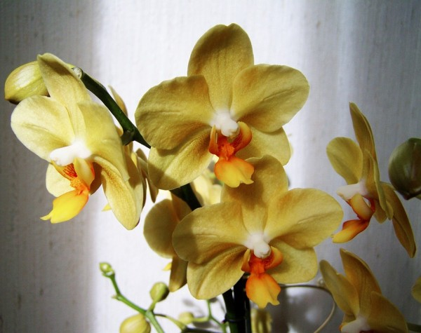 orchid-954040_960_720