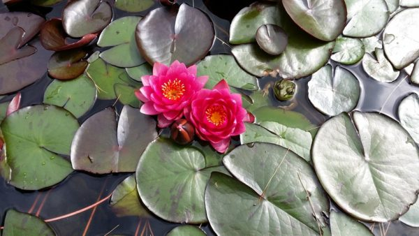 waterlily-889047_960_720