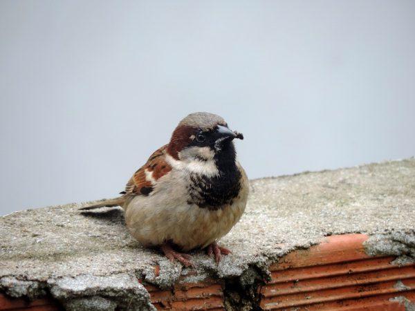 sparrow-959727_960_720