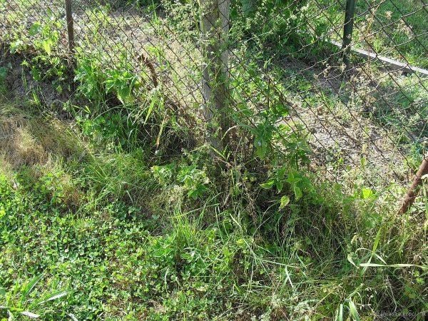 kopřiva u plotu