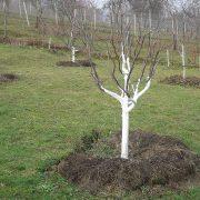 Stromy bělíme v lednu