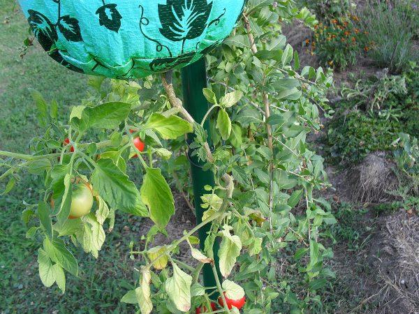 přetočené rajče